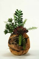 Jade Plant, Aloe, Echeveria and Mini Dracaena in Wooden Root Ball Planter